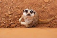 Verticale de meerkat Photos libres de droits