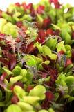 Verticale de Microgreens Photo stock