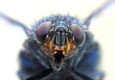 Verticale de mouche domestique Image stock