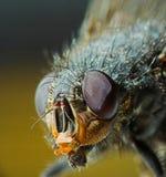 Verticale de mouche domestique Image libre de droits