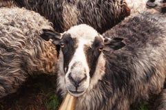 Verticale de moutons Images stock