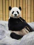 Verticale de panda géant Images libres de droits