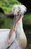 Verticale de Pelikan Photos libres de droits