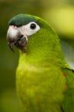 Verticale de perroquet Image libre de droits