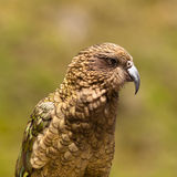 Verticale de perroquet alpestre Kea, notabilis de NZ de Nestor images libres de droits