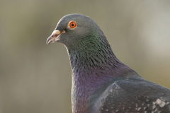 Verticale de pigeon Photo stock