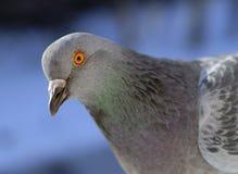 Verticale de pigeon Photos stock