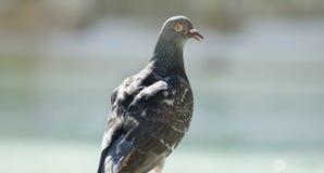 Verticale de pigeon de roche Image stock