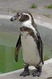 Verticale de pingouin Photos libres de droits