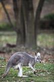 Verticale de plan rapproché d'un kangourou Photos libres de droits