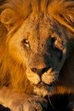 Verticale de plan rapproché d'un lion africain mâle sauvage Photos libres de droits