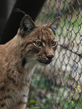 Verticale de plan rapproché d'un lynx eurasien Photo stock