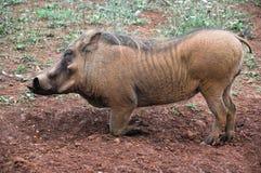 Verticale de plan rapproché d'un warthog Photos stock