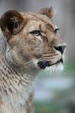 Verticale de plan rapproché d'une lionne majestueuse images libres de droits
