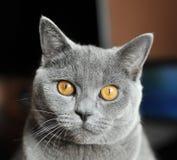 Verticale de plan rapproché de chat Images libres de droits