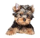 Verticale de plan rapproché de chien terrier de Yorkshire Photographie stock