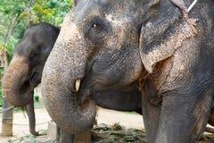 Verticale de plan rapproché de deux éléphants Photo libre de droits