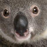 Verticale de plan rapproché de l'ours de koala mâle, Photos libres de droits
