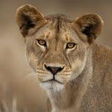 Verticale de plan rapproché de stationnement national de Serengeti Photos stock