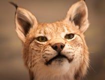Verticale de plan rapproché de lynx Photo stock