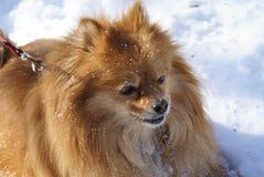 Verticale de Pomeranian Photographie stock libre de droits