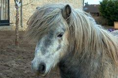 Verticale de poney gris Photographie stock libre de droits