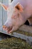 Verticale de porc Photos libres de droits