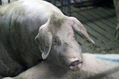 Verticale de porc Photo libre de droits