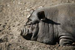 Verticale de porc du Vietnam Photos libres de droits