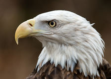 Verticale de profil d'Eagle chauve Images stock