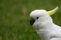 Verticale de profil d'un cockatoo crêté de soufre. photos libres de droits