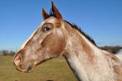 Verticale de profil de cheval Image stock