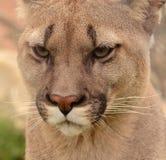 Verticale de puma Photos libres de droits