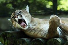 Verticale de puma Photographie stock libre de droits