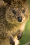 Verticale de Quokka Photo stock