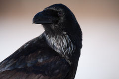 Verticale de Raven Image stock