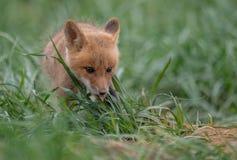Verticale de renard rouge photo stock