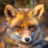 Verticale de renard rouge Photos libres de droits