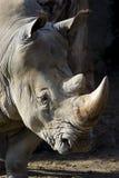Verticale de rhinocéros Photo libre de droits