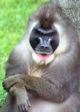 Verticale de singe Photographie stock
