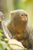 Verticale de singe Image stock