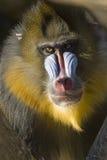 Verticale de singe de Mandrill Photos libres de droits