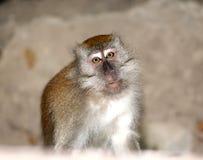 Verticale de singe sauvage Photographie stock libre de droits