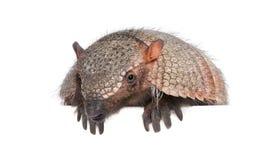 Verticale de tatou - Dasypodidae Cingulata Images libres de droits