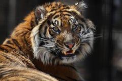 Verticale de tigre photographie stock