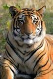 Verticale de tigre Images stock