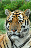 Verticale de tigre Photo stock