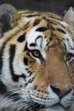 Verticale de tigre Images libres de droits