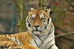 Verticale de tigre Photos libres de droits