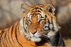 Verticale de tigre de Bengale Photographie stock libre de droits
